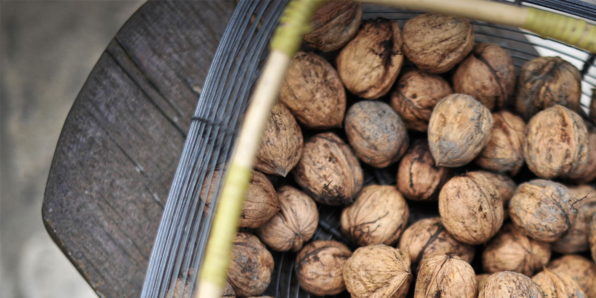 A basket full of walnuts for the walnut festival in Dordogne Valley in France