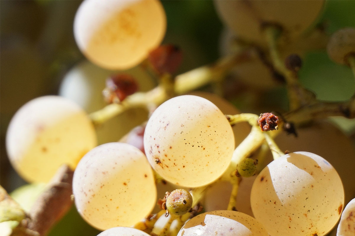 Monbazillac grapes from the Bergerac area in Dordogne Valley in France